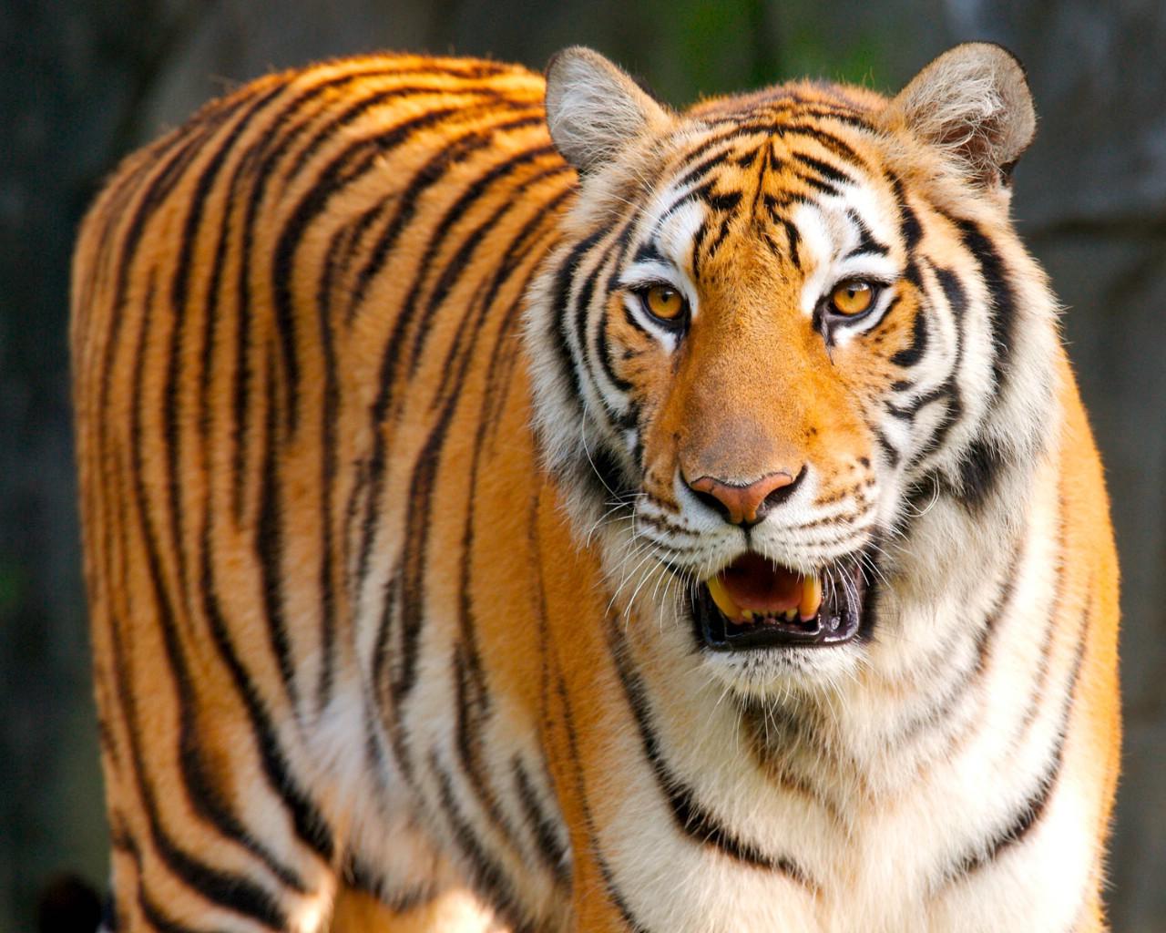 老虎写真壁纸图片动物壁纸动物图片素材桌面壁纸
