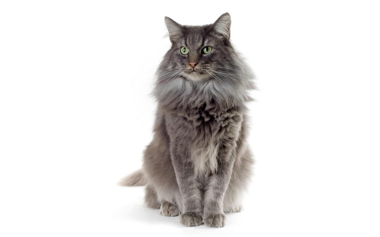 1440 900世界名猫宽屏高清壁纸 壁纸24壁纸 世界名猫