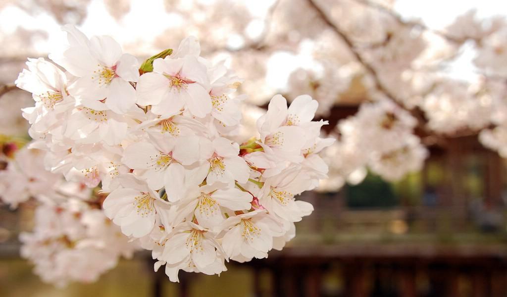 唯美樱花动态壁纸,唯美动漫樱花壁纸,唯美樱花壁纸,唯美浪漫樱花桌面