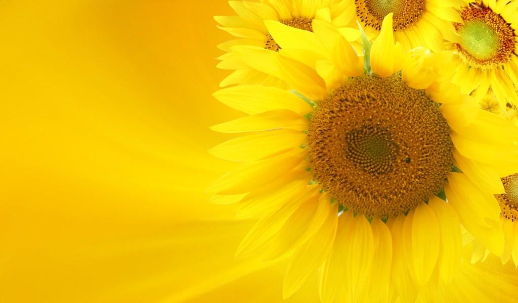 向日葵 葵花壁纸(3)桌面壁纸1