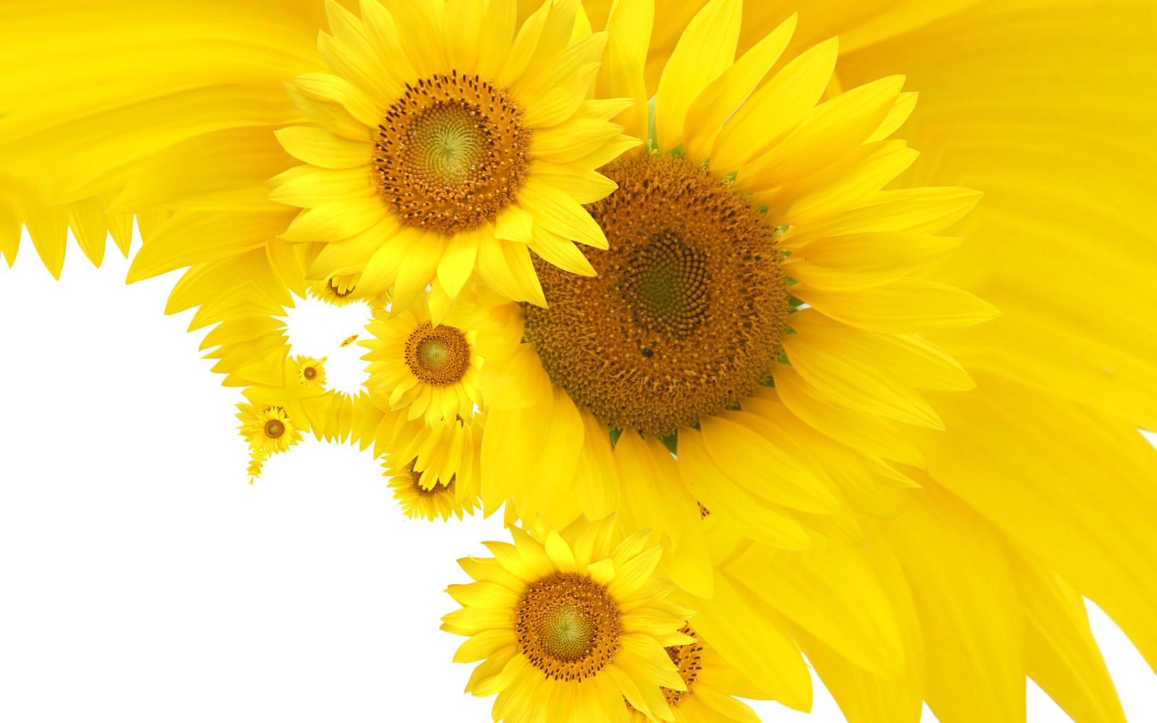 桌面背景太阳花