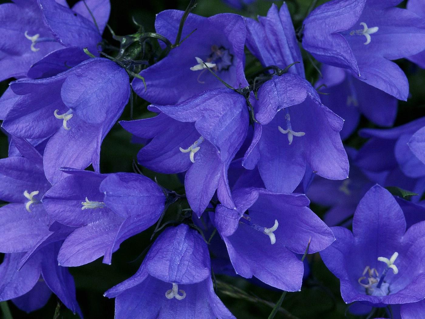 Картинки синие цветы - 248